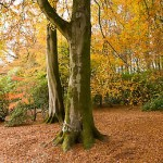 Two tree trunks with yellow foliage in background