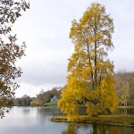 Tall yellow tree by lake