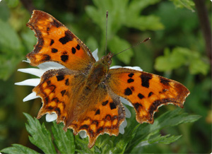 Comma butterfly by Jim Asher